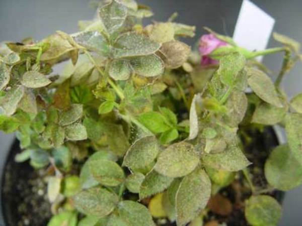 Трипсы на розах  как избавиться от паразитов