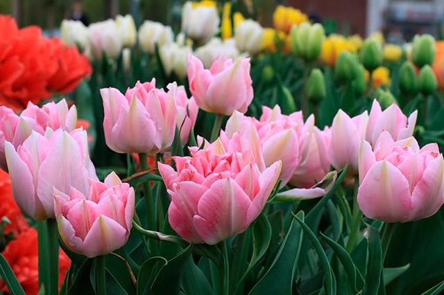 Какие есть сорта тюльпанов