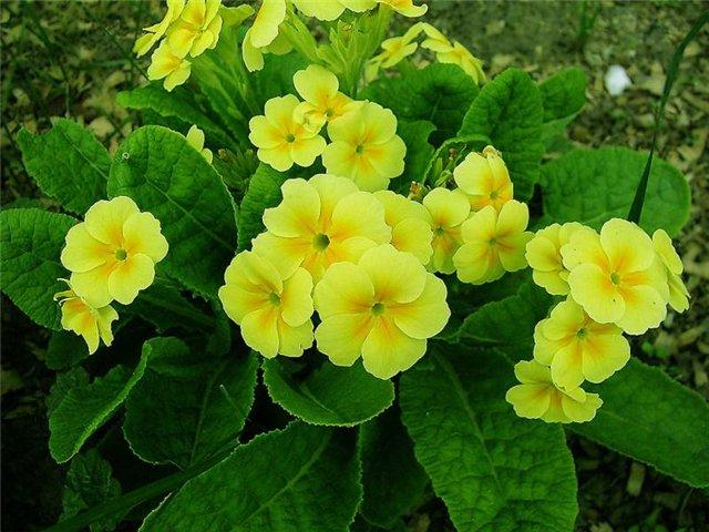 Весенние садовы цветы фото