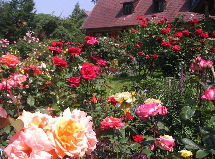 Какие розы можно сажать в подмосковье 21