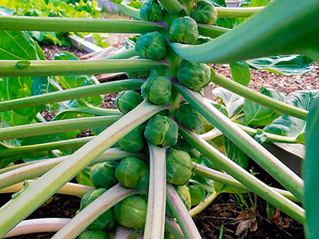 брюссельская капуста как растёт