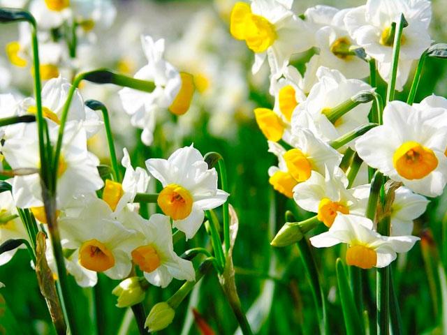 Весенние цветы фото и названия