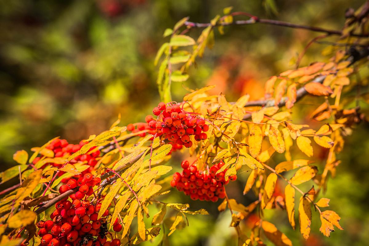 Ветка рябины осенью фото