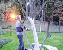 Побелка деревьев в саду