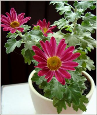 Хризантема.  Chrysanthemum