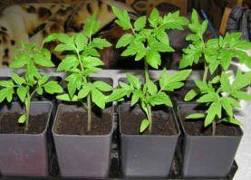 Выращивание томатов в теплице как бизнес 93