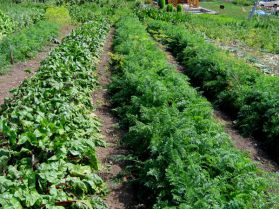 Где лучше выращивать овощи на участке