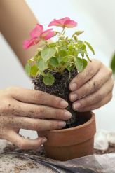 Можно сегодня цветы пересаживать