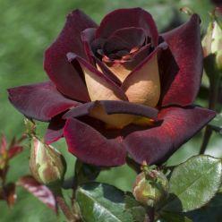 Чайно гибридные сорта роз