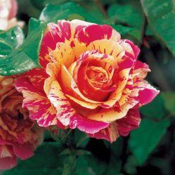 Привитые и корнесобственные розы Уход и забота о розах