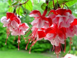 Как ухаживать за садовыми цветами в