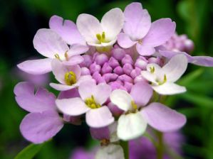 Иберис. Выращивание из семян