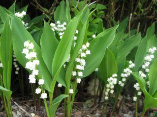 Ландыш – посадка и уход в саду