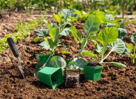 Как вырастать рассаду капусты 20