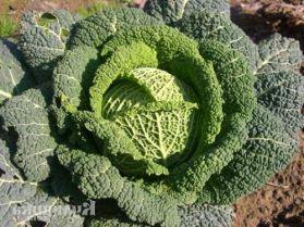 Как вырастить савойскую капусту в открытом грунте