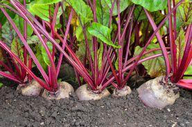 Выращивание свеклы в открытом грунте