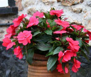 Огонек цветок уход в домашних условиях 6