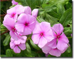 ����������, ��������.  Catharanthus